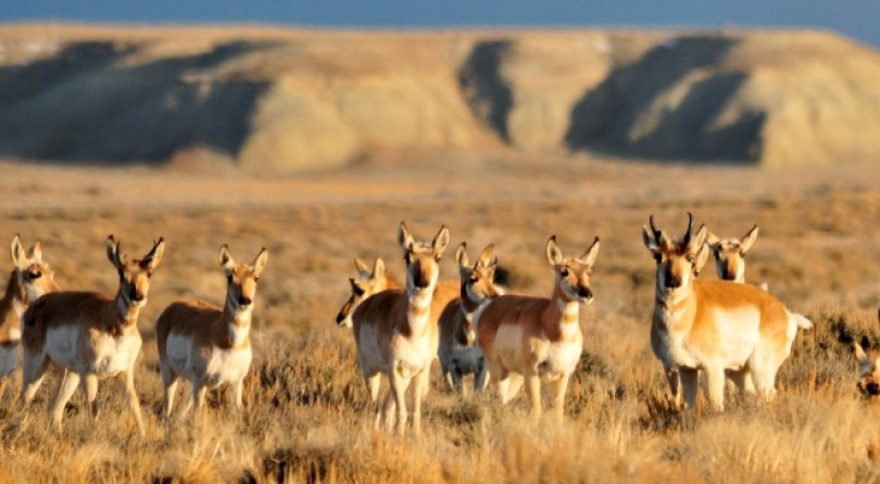 Wyoming Pronghorn: The Most Accessible Western Big Game